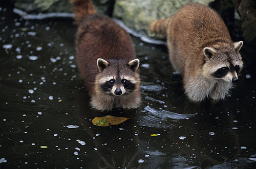 Would You Eat Raccoon Meat?