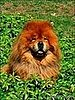 The Passing of Paw Paw: Martha's Cute Chow Chow Dies