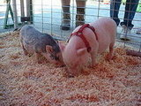 Tiny Piggies