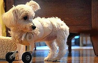 Maltese With Two Legs Gets Around On Model Airplane Wheels