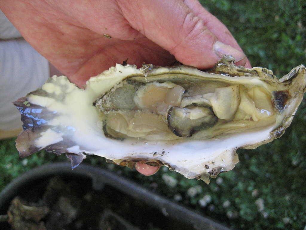 Our oyster was inedible and ugly. Oysters are best when super fresh. These shells had been collected early in the morning and were not kept cold. By the time we opened it in the afternoon, it had been dead for some time.