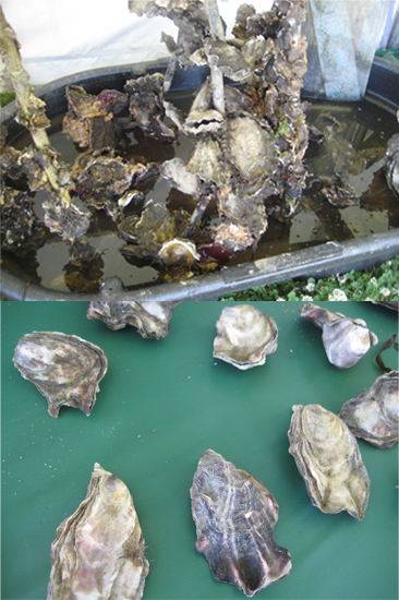 Oysters are grown in two ways:  1. In clusters attached to one another 2. As single shells  Restaurants prefer single shell, farmed oysters because the shapes are mostly uniform.