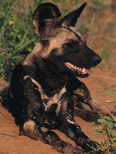 Creature Features: African Wild Dogs