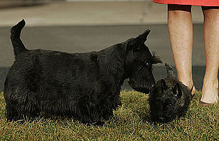 Breed Spotlight: Scottish Terrier