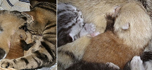 The Scoop: Generous Cat Adopts Abandoned Red Panda Babe!