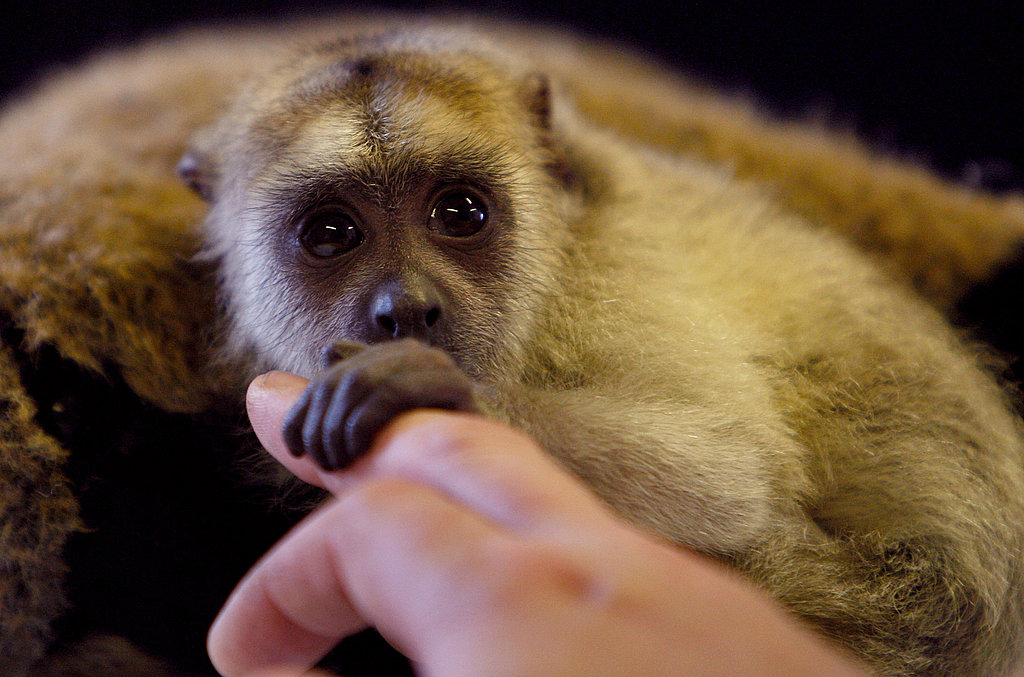 Super Cute Gallery: Baby Black Howler Gets Bottle Fed!