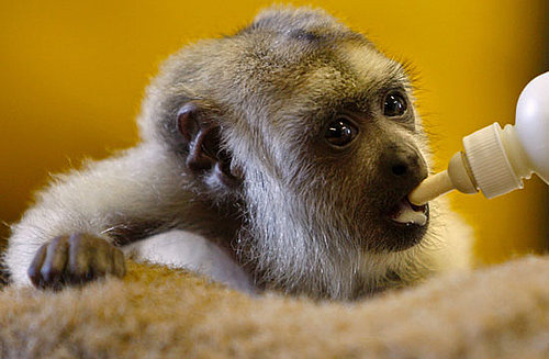 Super-Cute Gallery: Baby Black Howler Gets Bottle Fed!