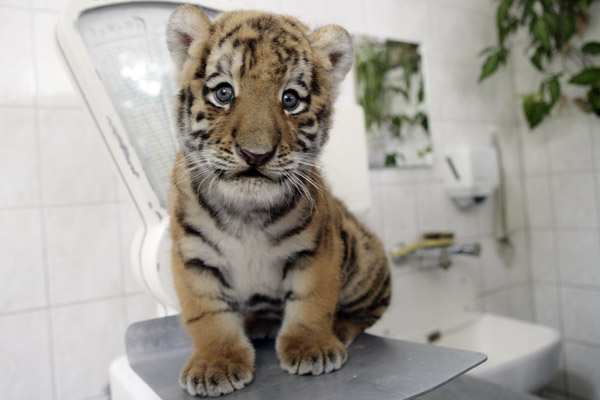 Super Cute Gallery: Meet Antares, Germany's Baby Siberian Tiger!