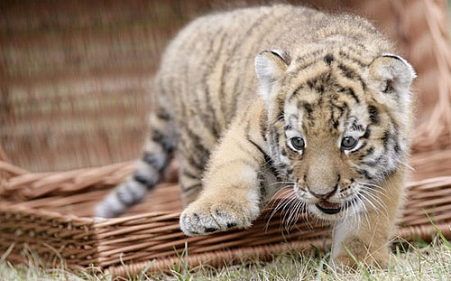 The Scoop: Baby Tiger Antares Is a Cutie!