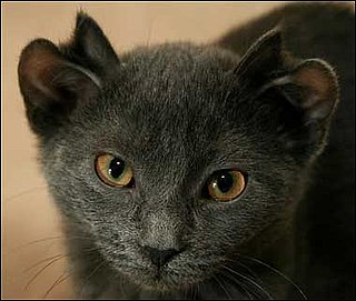 Yoda the Cat Has Four Ears: In the LINK of an Eye!