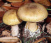 Poisonous Mushrooms to Avoid