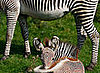 Florence, an Endangered Grevy&#039;s Zebra, Is Born in Scotland&#039;s Edinburgh Zoo