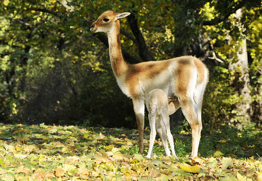 The Scoop: Meet Baby Vicuna, Antonio