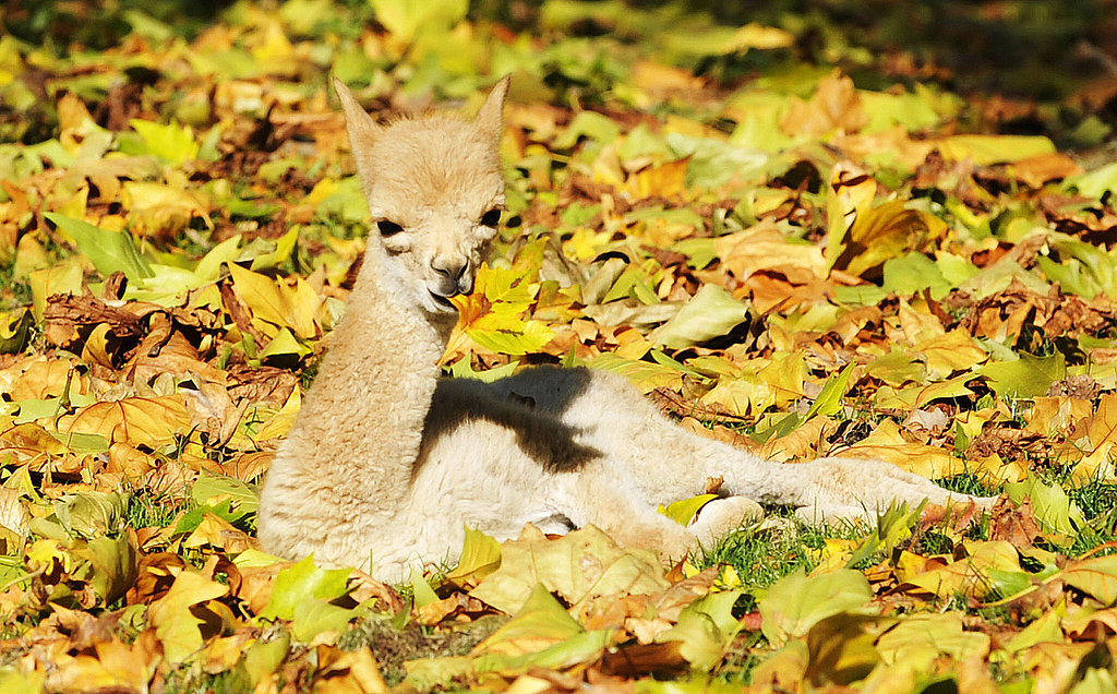 Photos of a Baby Vicuna Born in Berlin
