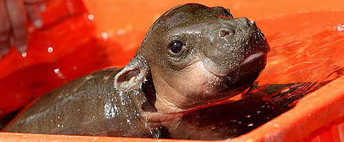 Meet Monifa: An Adoro One-Month-Old Pygmy Hippopotamus