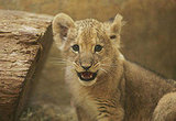 Cute Lion Cub Presented at a Zoo in Rostock, Germany