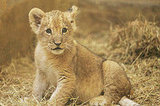 The Scoop: Hello, Baby Lion