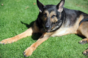 6. German Shepherd