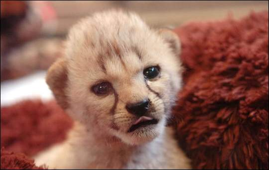 The Scoop: Purdy and Wild Boy have Baby Cheetah Boys