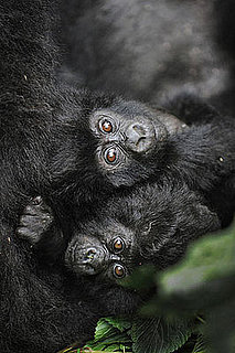 Rare Gorilla Twinsies Born in Uganda: In the LINK of an Eye!