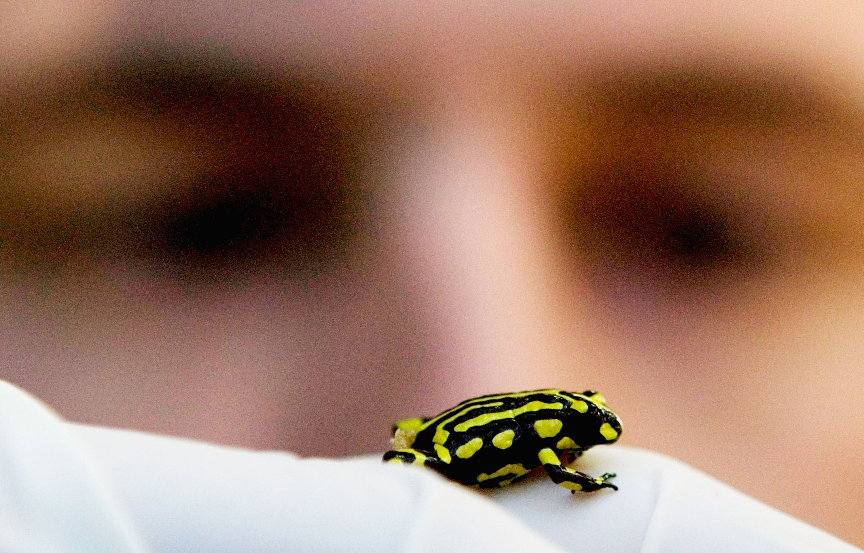 Only approximately 200 Corroboree frogs exist in the wild.