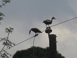 Tree ducks on wire- 1