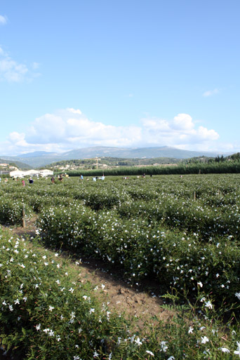 Chanel No 5 Tour of Grasse, France Jasmine Flower Fields