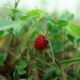 WildStrawberry