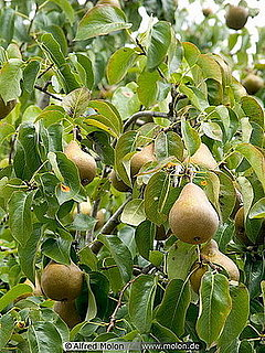 Ask Casa:  I Need Help With My Pear Tree