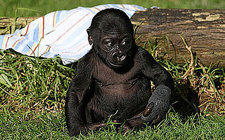 Sugar Shout Out: Meet Hasani, the SF Zoo's New Baby Gorilla!