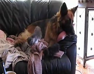 German Shepherd Adopts Kittens in Australia