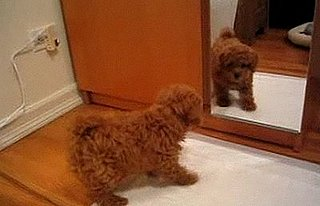 Poodle Puppy Bark at His Reflection in the Mirror