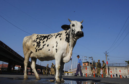India to Introduce Cow Urine Beverage