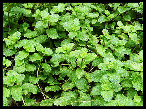 Recipes containing mint anyone?