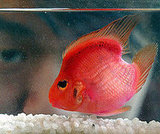One-Heart Blood Parrot Fish