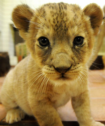 Adoro Baby Lion From Dortmund, Germany