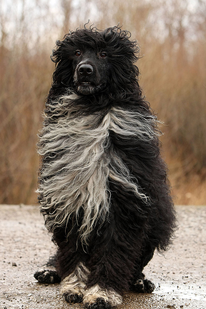 Breed Spotlight: Portuguese Water Dog