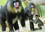 Baby Mandrill With Pablo and Zora