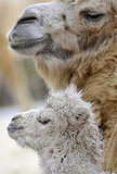 Jenny and Jolan the Camel-ly Family