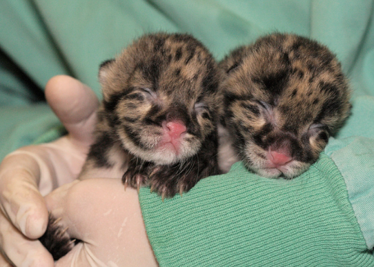 Two Clouded Leopards