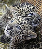 Leopards 'Zhongni' and 'Zhang Jie' Born At Hamburg's Hagenbeck Zoo in Gemany