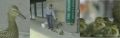 Man Makes Way For Ducklings (Literally): In the LINK of an Eye!