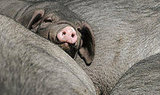 Peek-a-Piggyback