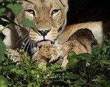 Lioness Kisses!