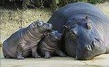 Hamburg's Baby Hippos Hug