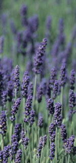 Relax Already: Lavender Bath