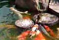Duckling Feeding Fish