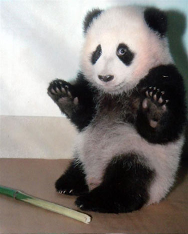 Cute Alert: Panda Surrenders