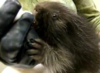 Cute Alert: Bottle-Fed Orphaned Baby Porcupine