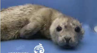 Cute Alert: Rescued Baby Seal